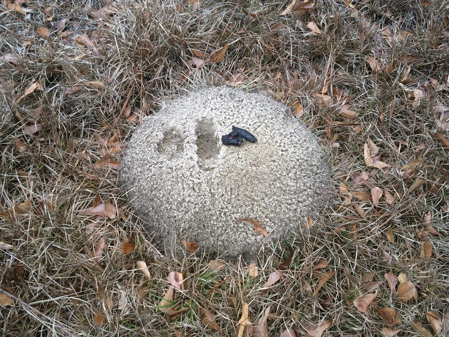 Casual Survey of Three Acres of Land Reveals 120 Fire Ant Colonies - Disrespectful wild animal crapped on an ant hill.