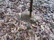 casual survey of three acres of land reveals 120 fire ant colonies - On a fence post.