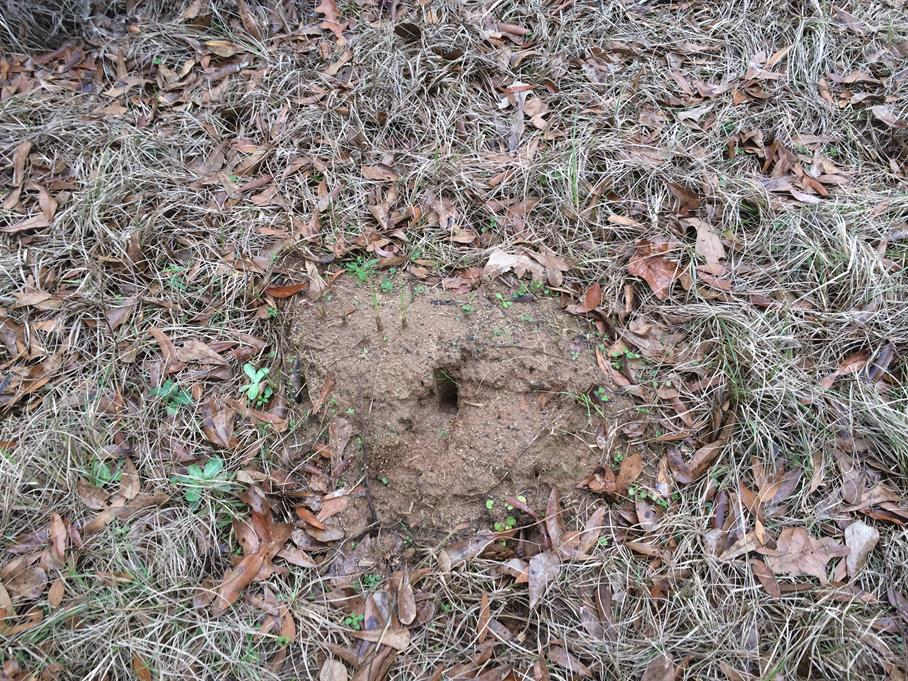 Casual Survey of Three Acres of Land Reveals 120 Fire Ant Colonies - Another
