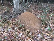 casual survey of three acres of land reveals 120 fire ant colonies - The largest ant hill I found