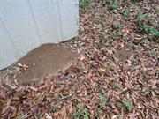 casual survey of three acres of land reveals 120 fire ant colonies - Fire ant hill built on a storage shed.