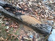 casual survey of three acres of land reveals 120 fire ant colonies - On a railroad tie.